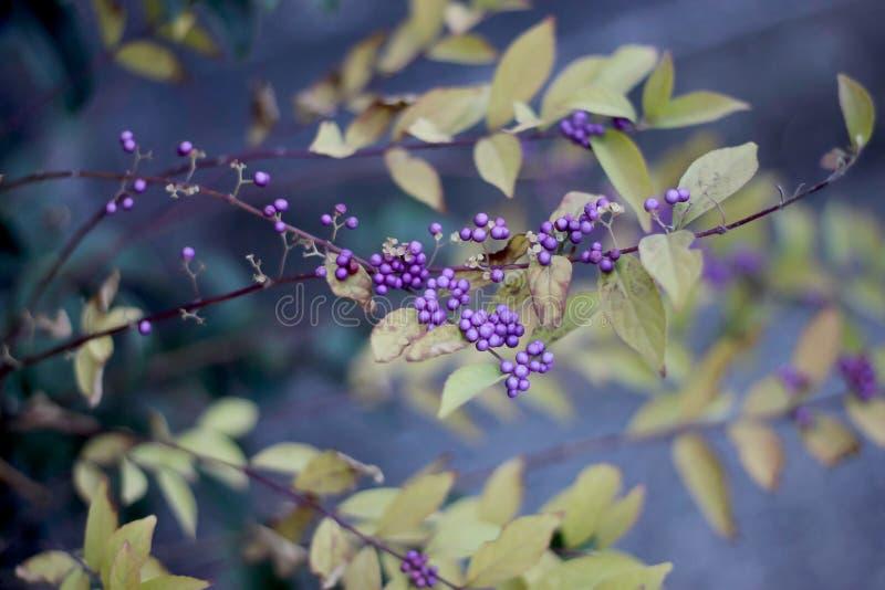 Krzaka Callicarpa Lamiaceae z purpurowymi jagodami zdjęcie stock