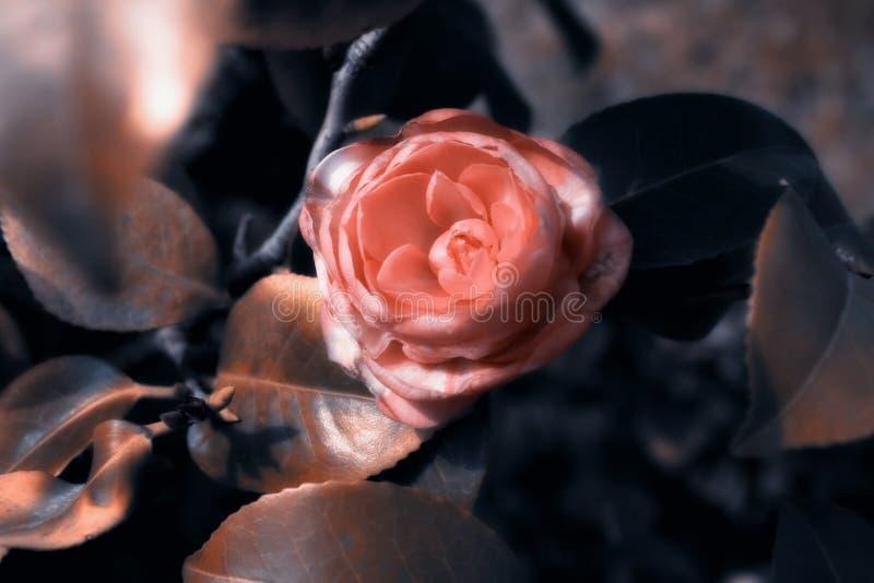 krzaka kameliowego kwiatu japońskie menchie zdjęcie stock