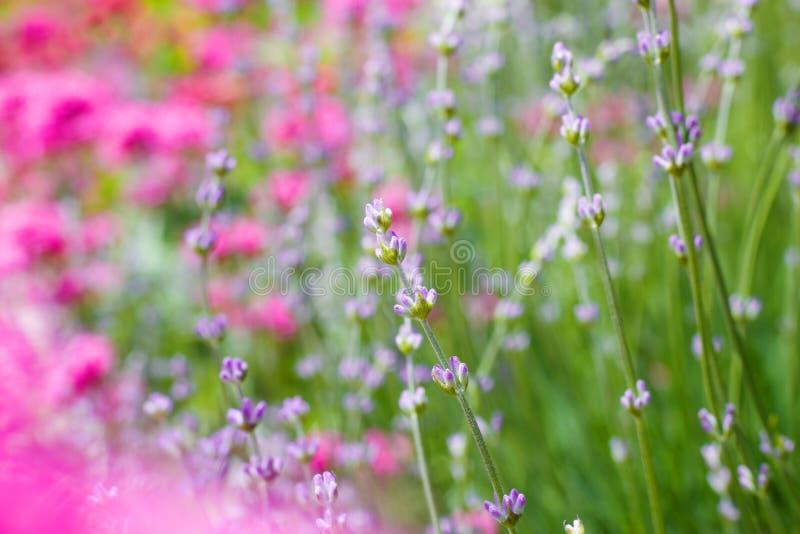 Krzaki lawendowi kwiaty zdjęcia stock