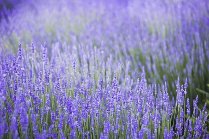 Krzaki lawendowi kwiaty obraz stock