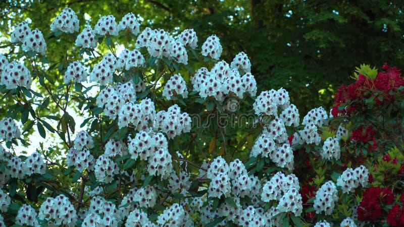 Krzaki z białymi różanecznikami w ogródzie obrazy royalty free