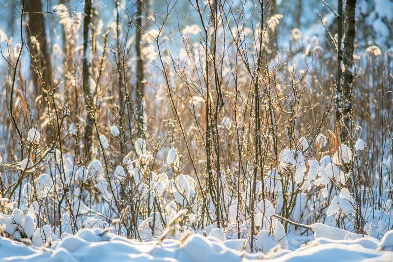 Krzaki zakrywający z śniegiem fotografia royalty free
