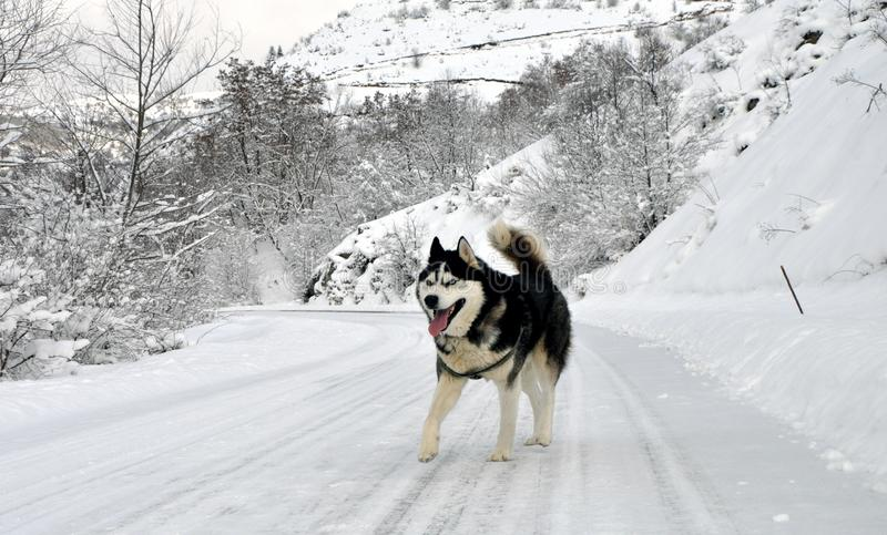 krzepki siberian pies zdjęcia stock