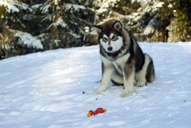 krzepki szczeniaka siberian fotografia royalty free