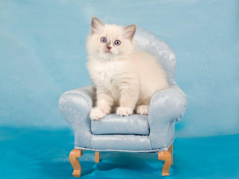 krzesła ślicznej figlarki mini ładny ragdoll zdjęcie royalty free