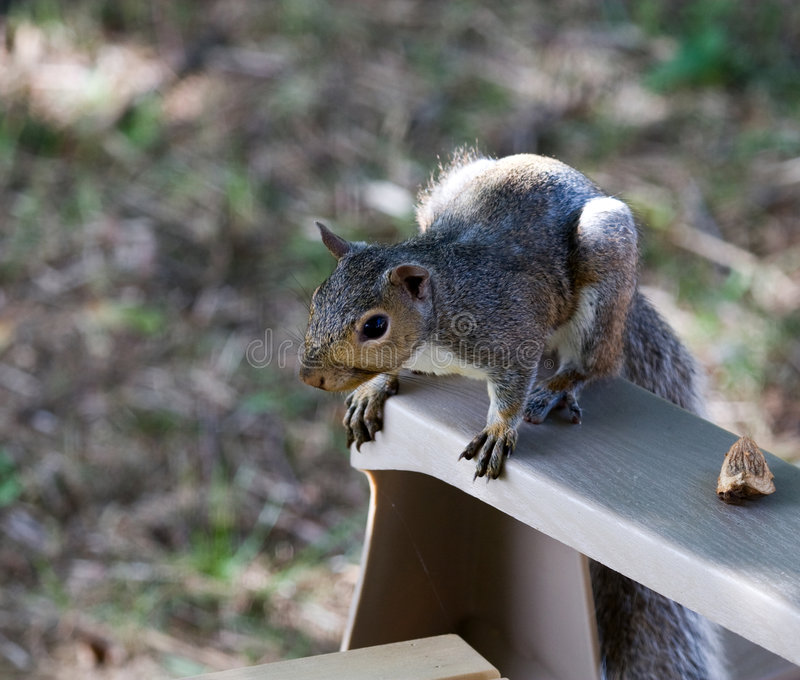 krzesło wiewiórka fotografia stock