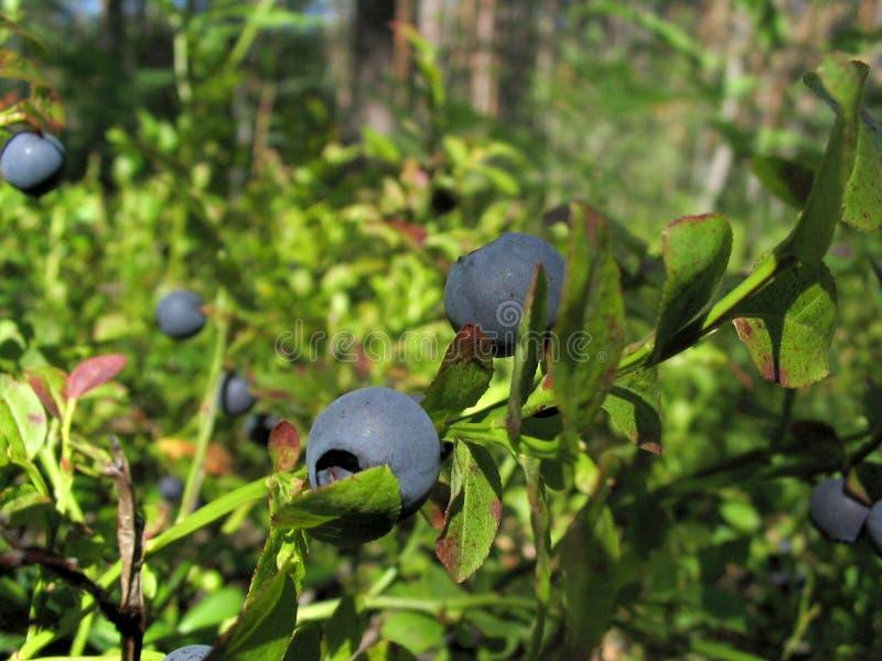 krzew borówczany fotografia stock