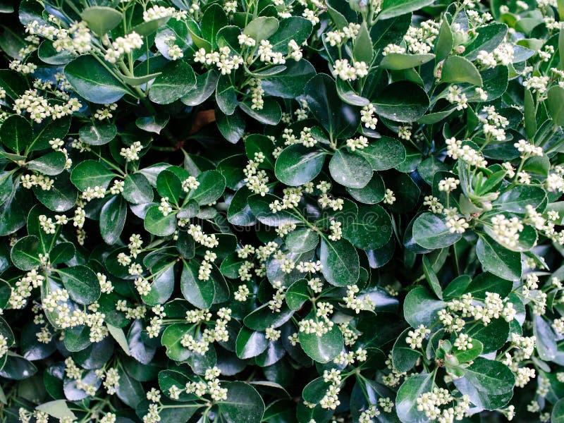 Krzew z zielonymi, błyszczącymi liśćmi i białymi kwiatami fotografia royalty free