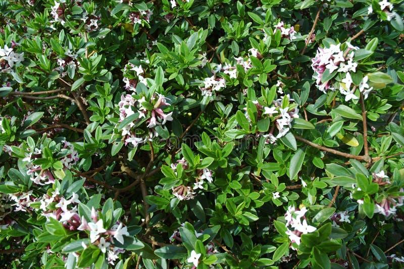 Download Krzewy obraz stock. Obraz złożonej z ogródy, drzewa, różowi - 130923