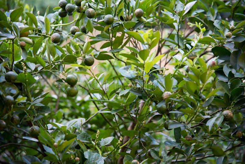 książka botaniczne reprodukcji rocznik drzewa cytrynowe obrazy stock