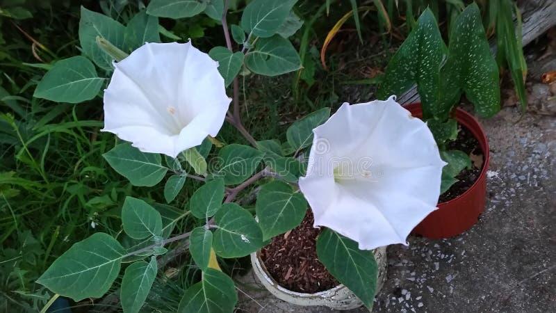 Księżyc kwiaty zdjęcie royalty free