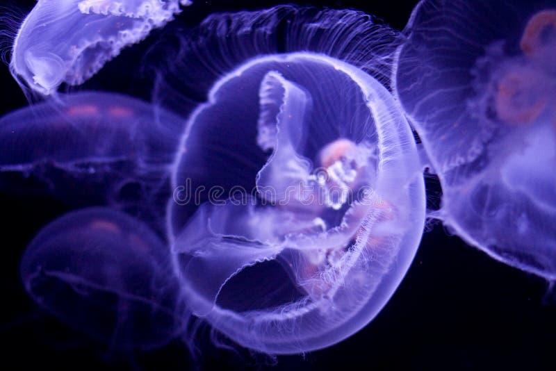 księżyc meduz. zdjęcie royalty free