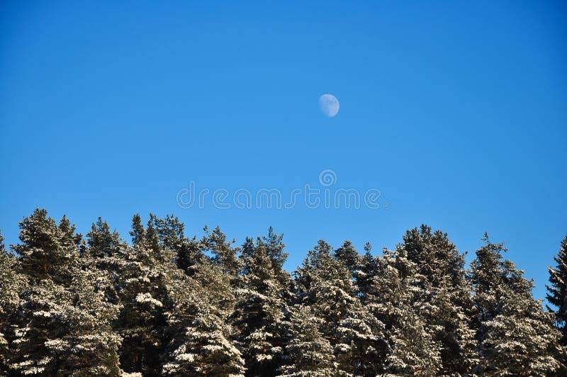 Księżyc W Pełni w dnia niebieskim niebie nad zima lasem snowed sosny zdjęcie stock