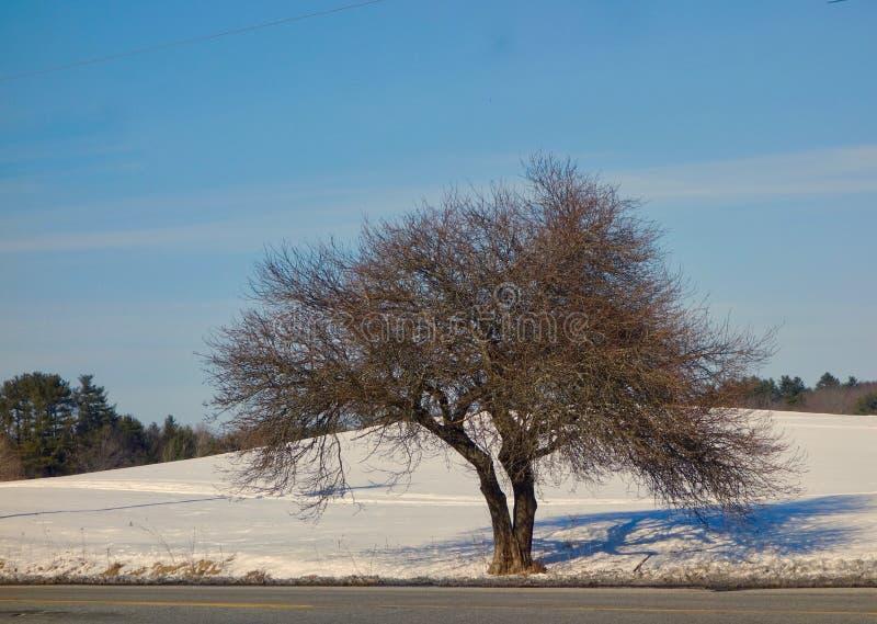 Kształtujący drzewo w zimie z bifurcated bagażnikiem i sieć miniaturowe gałąź fotografia stock
