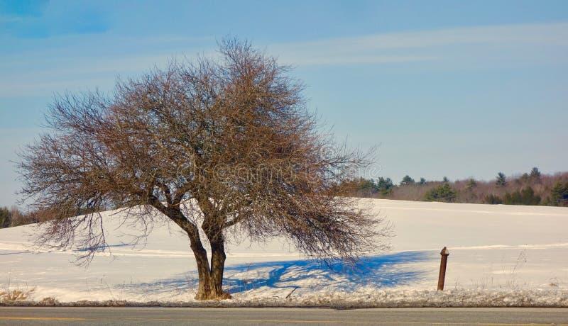 Kształtujący drzewo w zimie z bifurcated bagażnikiem i sieć miniaturowe gałąź zdjęcie royalty free