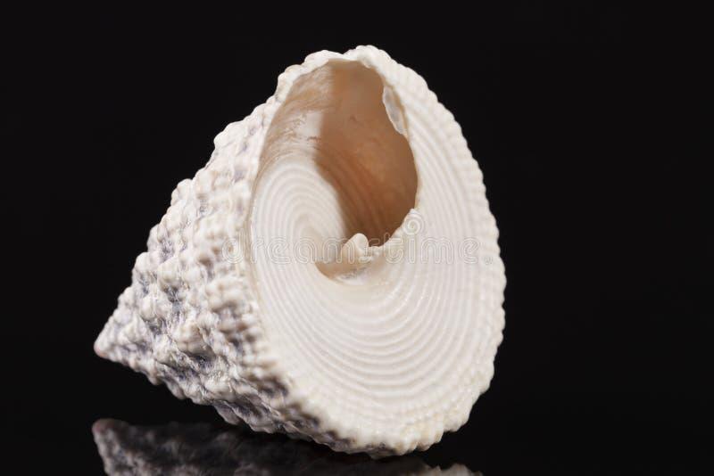 Kształtująca denna skorupa denny ślimaczek Trochus odizolowywający na czarnym tle zdjęcie royalty free