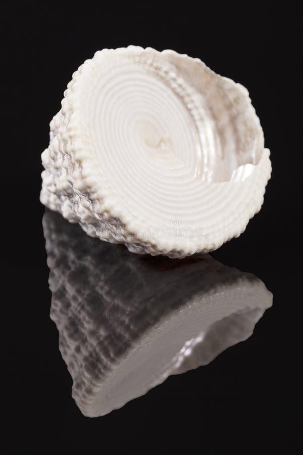 Kształtująca denna skorupa denny ślimaczek Trochus odizolowywający na czarnym tle obrazy stock