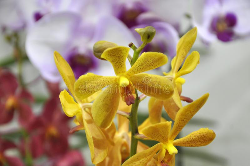 Exotic orchids flower inside the indoor nursery. KUALA LUMPUR, MALAYSIA -AUGUST 25, 2018: Colorful tropical & exotic orchids flower in indoor plants nursery royalty free stock images