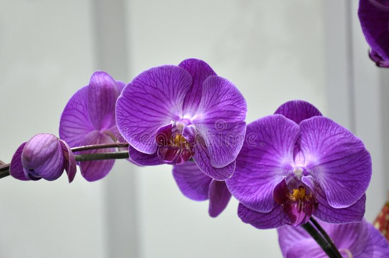 Exotic orchids flower inside the indoor nursery. KUALA LUMPUR, MALAYSIA -AUGUST 25, 2018: Colorful tropical & exotic orchids flower in indoor plants nursery stock image