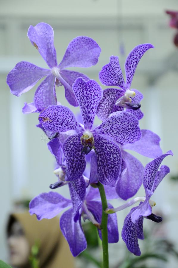 Exotic orchids flower inside the indoor nursery. stock image
