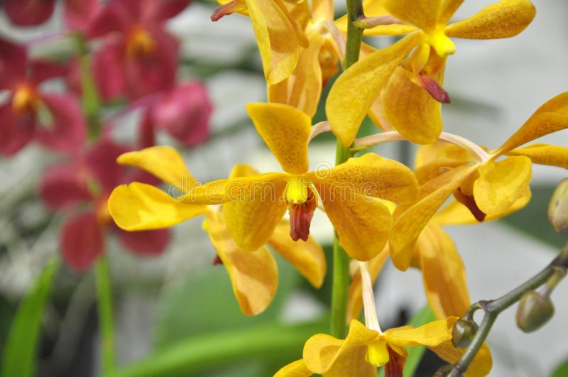 Exotic orchids flower inside the indoor nursery. stock photo