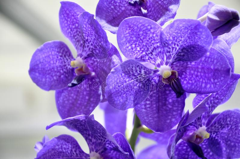 Exotic orchids flower inside the indoor nursery. royalty free stock image