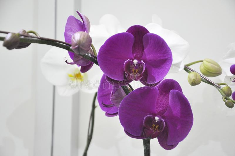 Exotic orchids flower inside the indoor nursery. royalty free stock photography