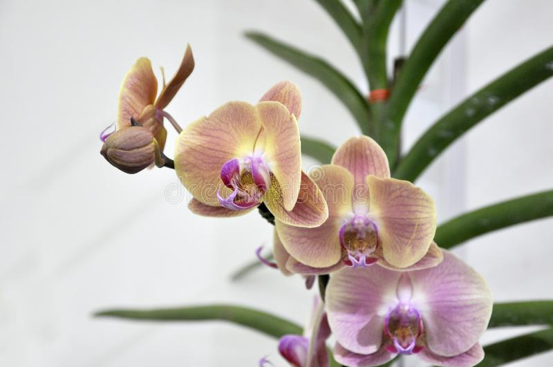 Colorful tropical & exotic orchids flower. KUALA LUMPUR, MALAYSIA -AUGUST 25, 2018: Colorful tropical & exotic orchids flower in plants nursery stock images