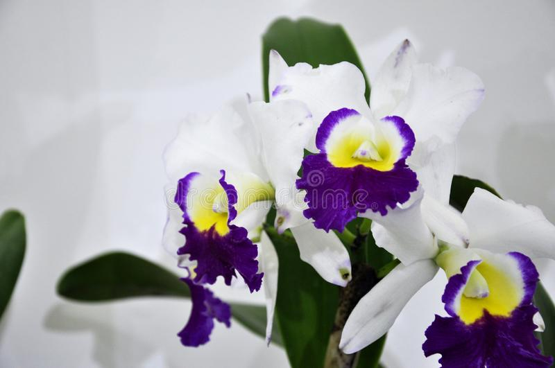 Colorful tropical & exotic orchids flower. KUALA LUMPUR, MALAYSIA -AUGUST 25, 2018: Colorful tropical & exotic orchids flower in plants nursery stock photo