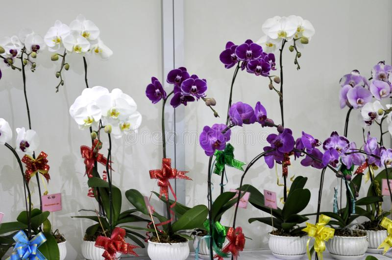 Colorful tropical & exotic orchids flower. KUALA LUMPUR, MALAYSIA -AUGUST 25, 2018: Colorful tropical & exotic orchids flower in plants nursery royalty free stock photos