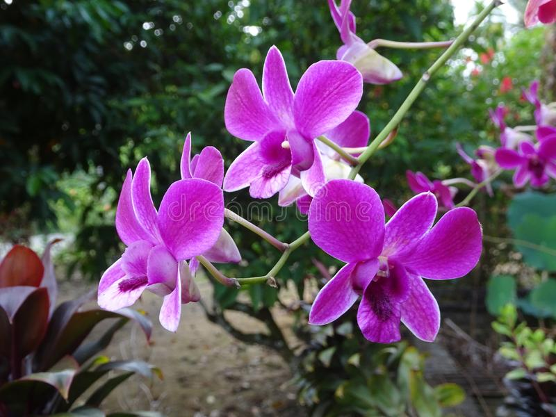 Colorful tropical & exotic orchids flower. KUALA LUMPUR, MALAYSIA -AUGUST 25, 2018: Colorful tropical & exotic orchids flower in plants nursery stock image