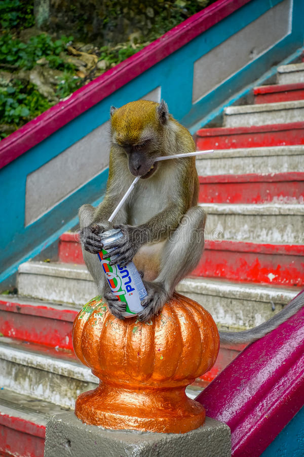 Kuala Lumpur, Malaysia - March 9, 2017: Monkey drinking soda can in the stairs to Batu Caves, a limestone hill with big royalty free stock photos