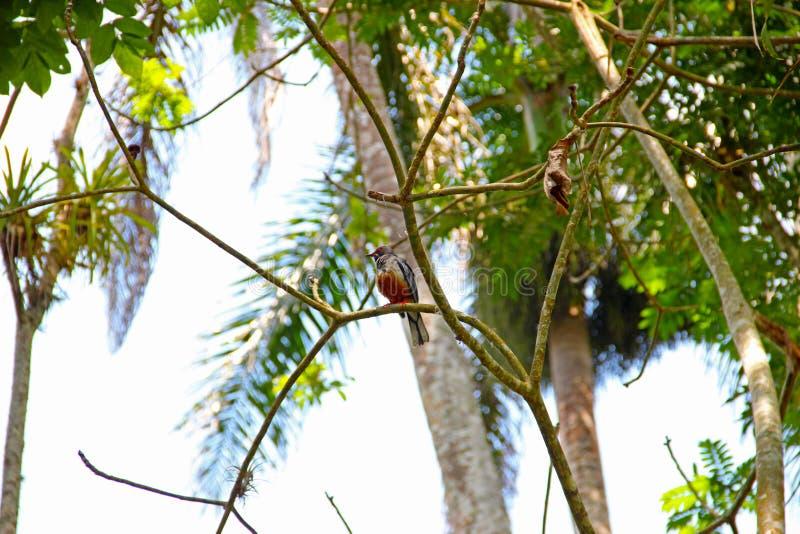 Kubańczyk Trogon &-x28; Priotelus temnurus&-x29; jest i żyje w lisiątku ptak, jeden dwa endemicznego gatunku genus Priotelus, zdjęcie royalty free