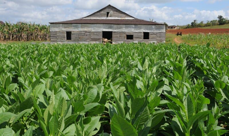Kubańska tabacco roślina w Vinales i typowej driyng budzie fotografia stock