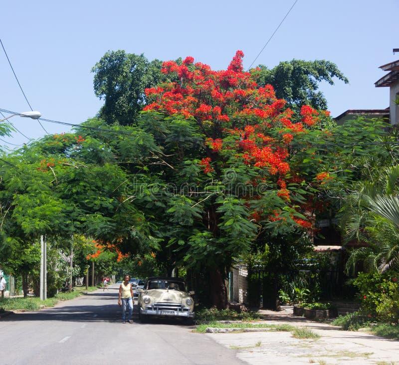 Kubański biały retro samochód i drzewo z czerwonymi kwiatami fotografia royalty free