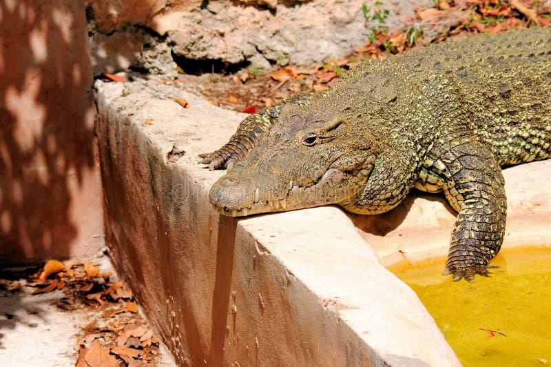 Kubański krokodyl w zoo fotografia royalty free