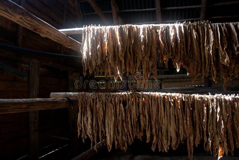 Kubański tytoń zdjęcia stock