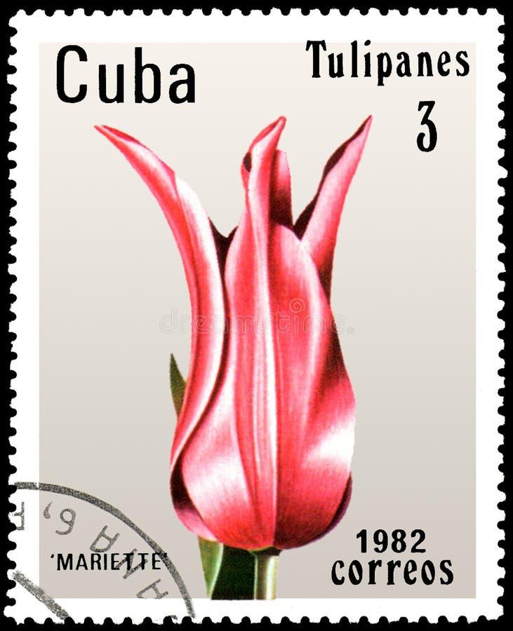 KUBA - CIRCA 1982: portostämpeln som skrivs ut i Kuba, visar en rosa tulpan Mariette royaltyfri fotografi
