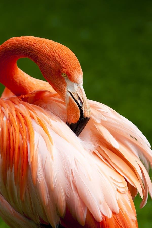 Kuba Flamingo stock photos