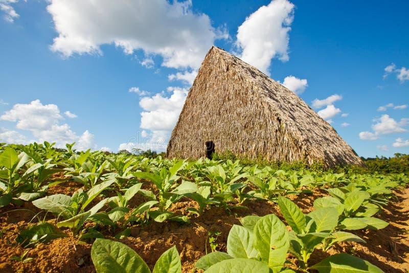 Kuba - tobak som torkar kojan royaltyfria bilder