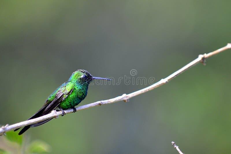 Kuban Emerald Hummingbird (den Chlorostilbon ricordiien) royaltyfria bilder