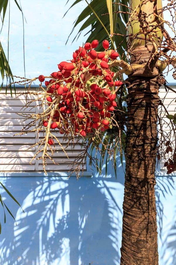 Kubanische Königpalme mit Früchten stockfoto