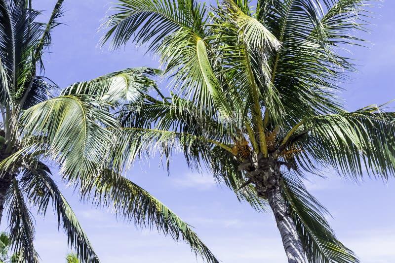 Kubanische Königpalme in Peninsula de Zapata lizenzfreies stockbild