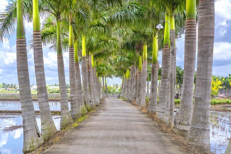 Kubanische Königpalmebäume gepflanzt entlang einer Landstraße lizenzfreie stockfotografie