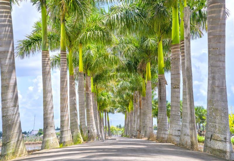 Kubanische Königpalmebäume gepflanzt entlang einer Landstraße lizenzfreie stockbilder