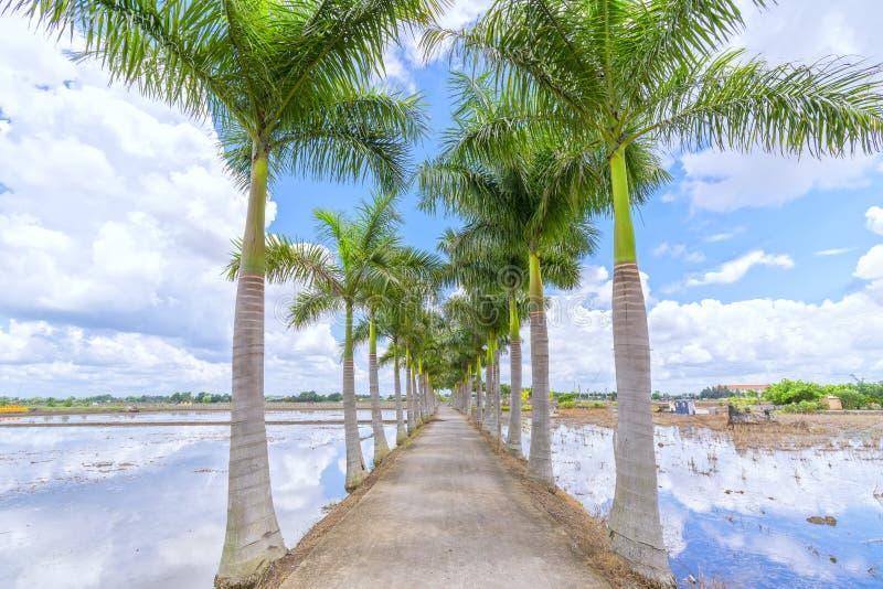 Kubanische Königpalmebäume gepflanzt entlang einer Landstraße stockfotos