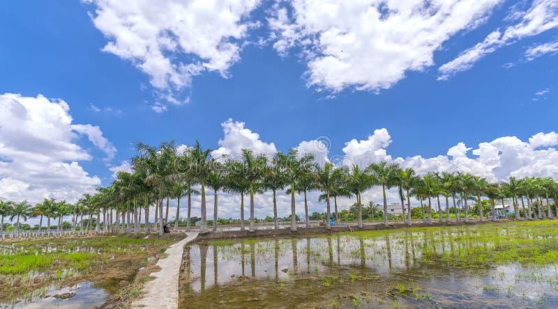 Kubanische Königpalmebäume gepflanzt entlang einer Landstraße lizenzfreie stockfotos