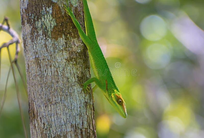 Kubanische Ritteranolis Anolis equestris lizenzfreies stockfoto
