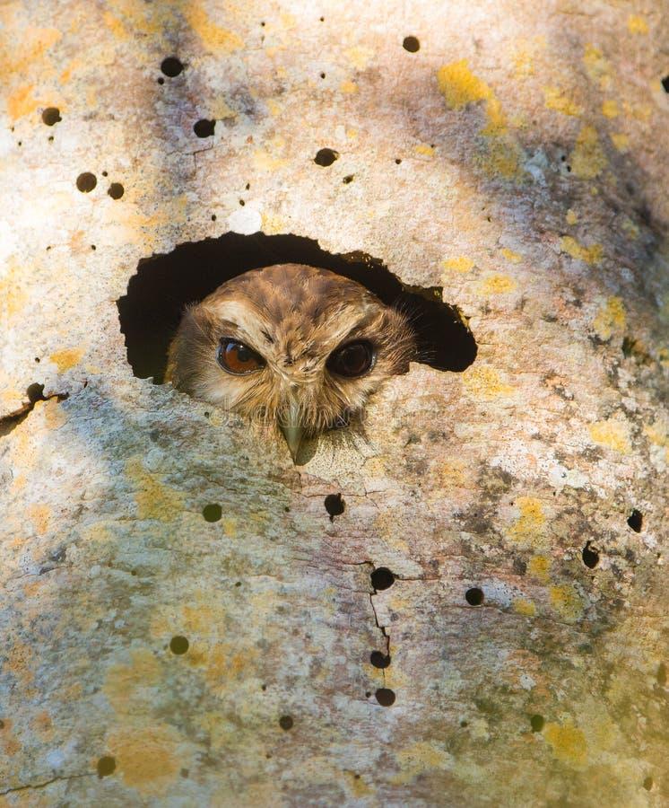 Kubanische Schrei-Eule, die von einem Loch schaut lizenzfreie stockfotos