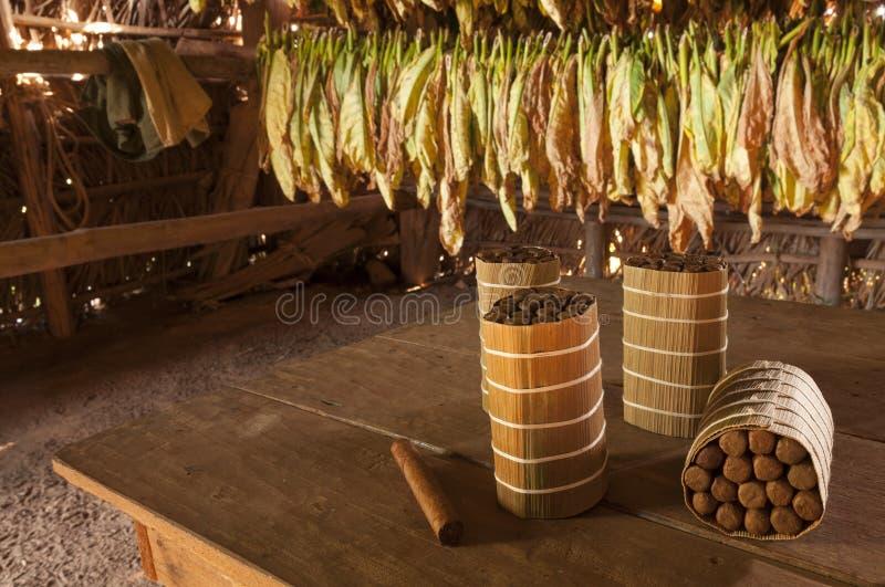Kubanische Zigarren in trocknendem Haus stockfotografie